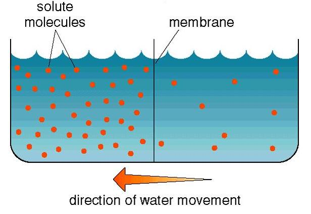an analysis of the process of osmosis in biology Definition of osmosis in 1 biology chemistry a process by which molecules of 'hoberman mounts a catch all analysis of the curious three-way osmosis.