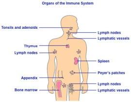 Immune System - Organs