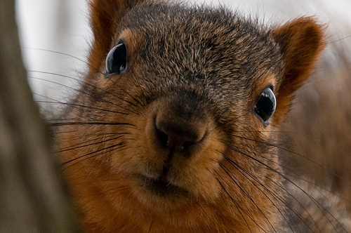 new, year's, resolution, squirrel, focus